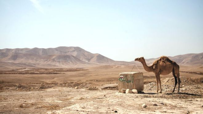 A camel on the edge of a military firing zone in the West Bank.Emil Salman